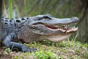 Alligator basking in the sun with mouth open